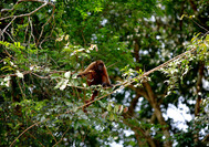 Affe im Nationalpark Amacayacu im Amazonasgebiet