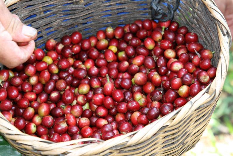 Kolumbien Reisen | Frisch geerntete Kaffeefrüchte