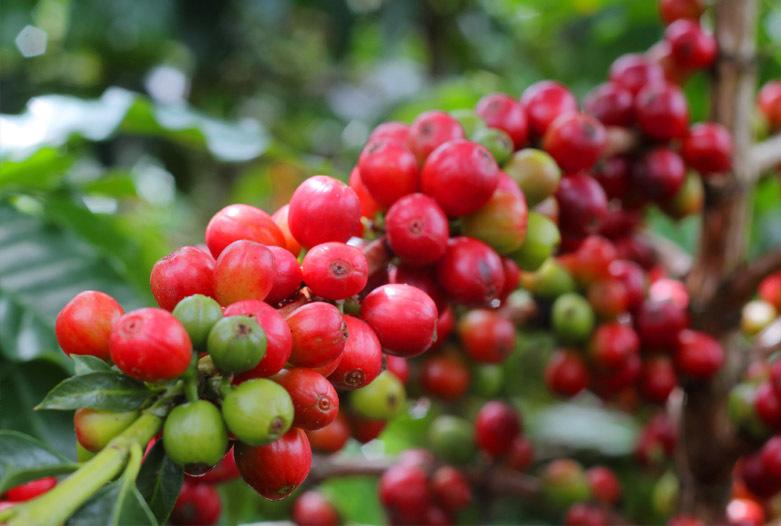 Kolumbien Reisen | Kaffestrauch