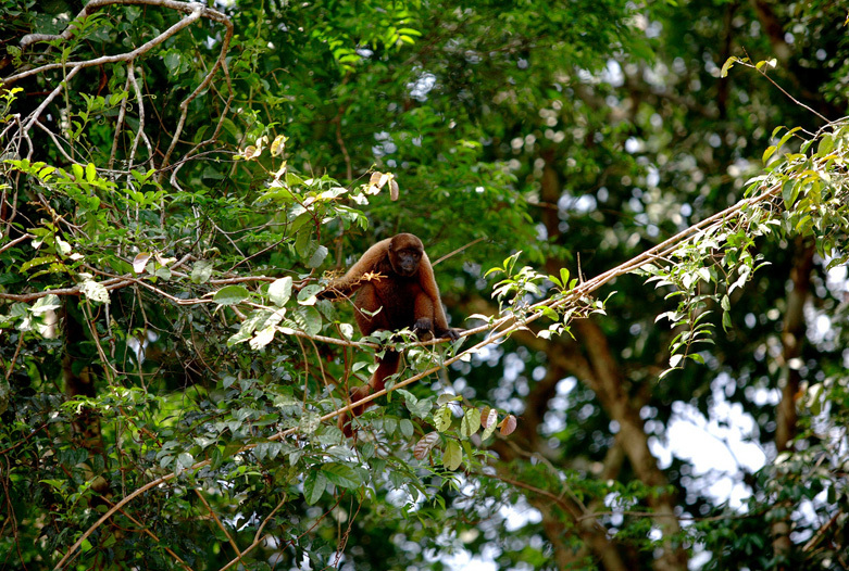 Kolumbien Reisen | Affe im Nationalpark Amacayacu, Amazonas